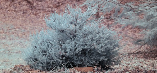 Infrared photo of bush using Red 2423 colored acrylic filter