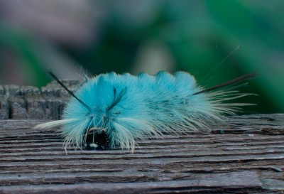 Bored blue caterpillar