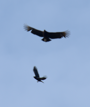 Crow fighting a vulture