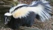 Skunk (source: Wikipedia)