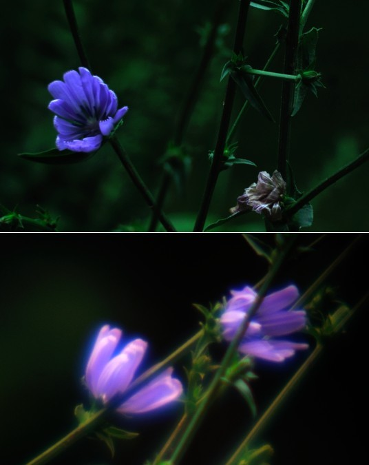 Visible photos of Chickory