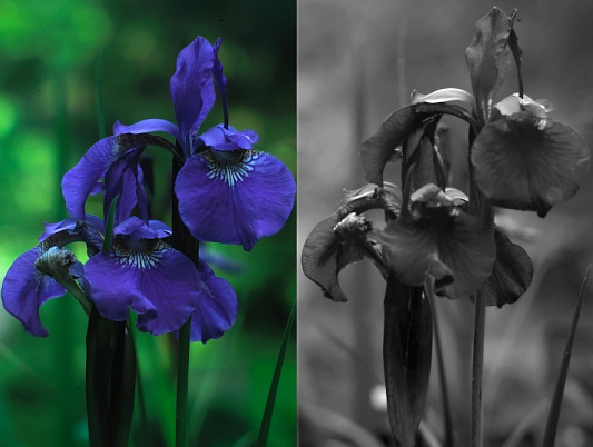 UV photo of blue iris