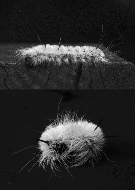 UV photo of white caterpillar