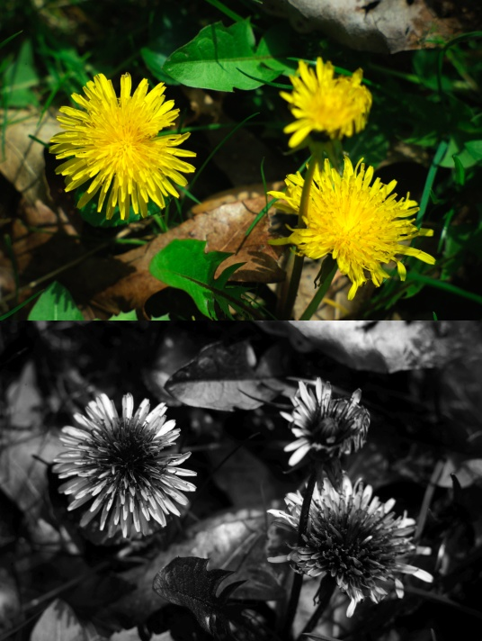 UV photo of dandelions using fused silica lens