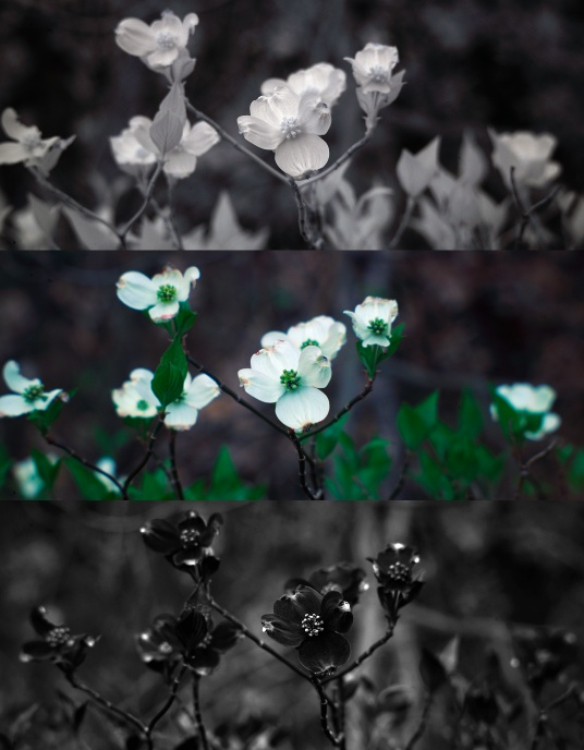 Infrared, visible, and UV photo of dogwood tree flowers