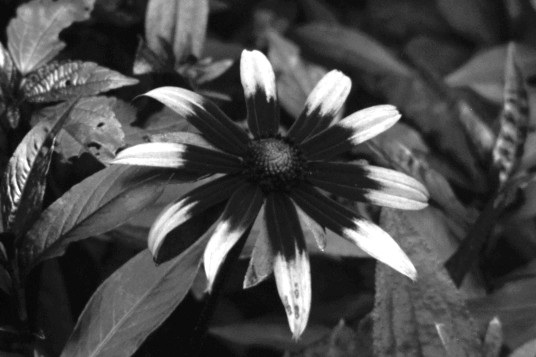 UV photo of Black-eyed susan
