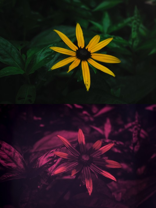 Visible and UV photo of black-eyed susan