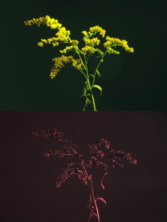 Visible and UV photo of goldenrod