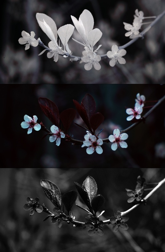IR, Visible, and UV photo of plum tree flowers