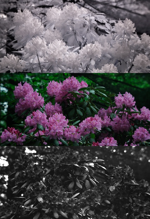 Infrared, visible, and UV photo of flowering rhododendron bush