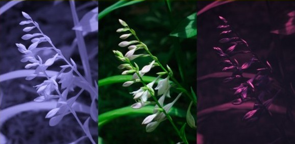 Infrared, visible, and UV photo of white lilies