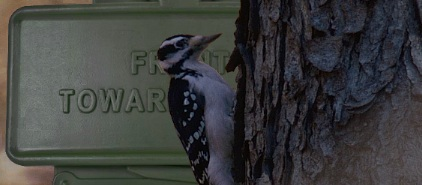 Woodpecker next to a Claymore